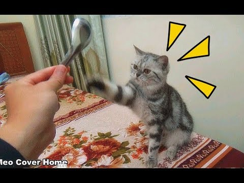 Cat is Chasing Spoon So Funny | Funny Cat Vines 2017 | Meo Cover Home