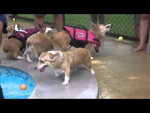 Corgi swimming at Summer Dog Pool