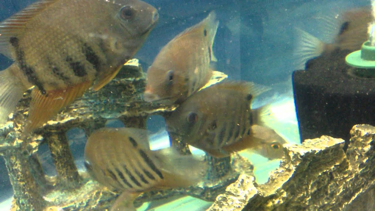 Fish aquarium in janakpuri - Rotkeil Sevrum Tank Maintain By Narayan Ganguly Sona Plants Aquarium