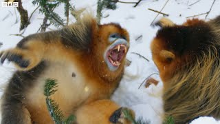 Baixar Snow monkey families in battle | Seven Worlds, One Planet | BBC Earth