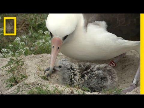 Amazing Bird: Age 65, May Have Had 40 Chicks, Traveled Three Million Miles | National Geographic