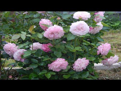 Розы и ЛМР.Устойчивые сорта.Розы Тантау и ЛМР.Часть 2.