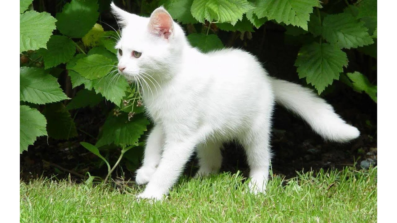 Black and white fluffy cat breeds