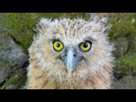 Mengenal Buffy Fish Owl Dan Tips Cara Merawatnya