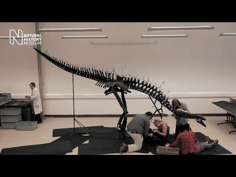 Watch A Stegosaurus Skeleton Get Reassembled
