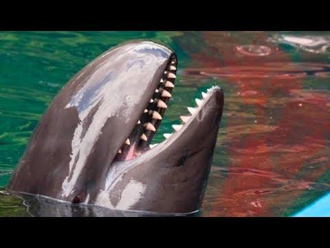 Por Eso Los Tiburones Le Temen A Los DELFINES