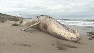 体長8メートルのクジラ 茨城の海岸で見つかる(16/09/14) thumbnail