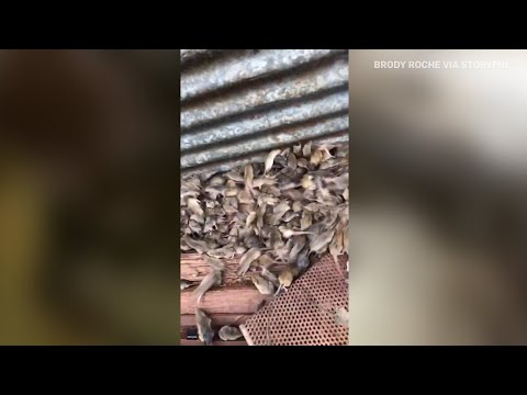 'The worst plague,' thousands of mice infest farms in New South Wales