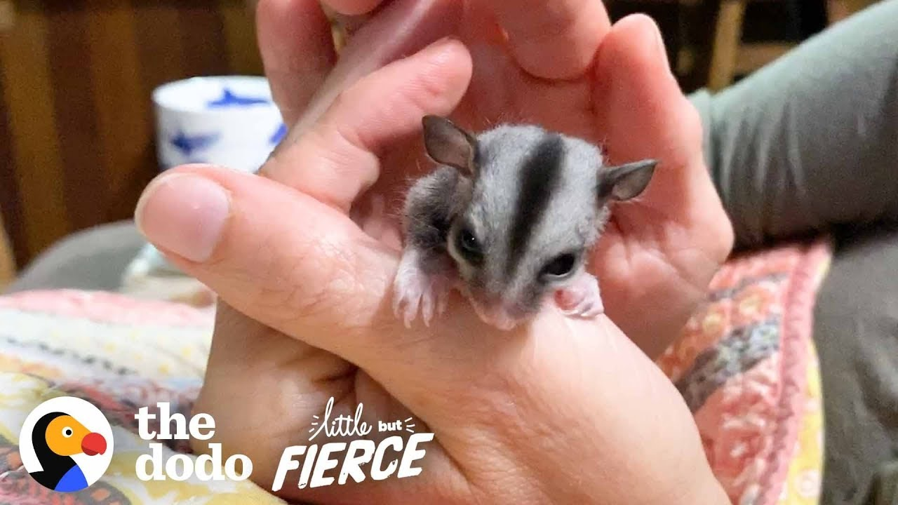 Baby Sugar Glider Figures Out How To Glide | The Dodo Little But Fierce