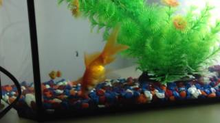 Аквариум. Рыба. Золотой рыбки!
