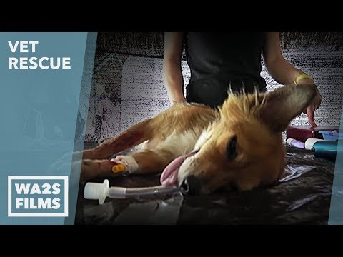 Animal Aid Unlimited for Puppy Going To Surgery: VET Rescue Punta Cana Ep 2 Meds and a Shave
