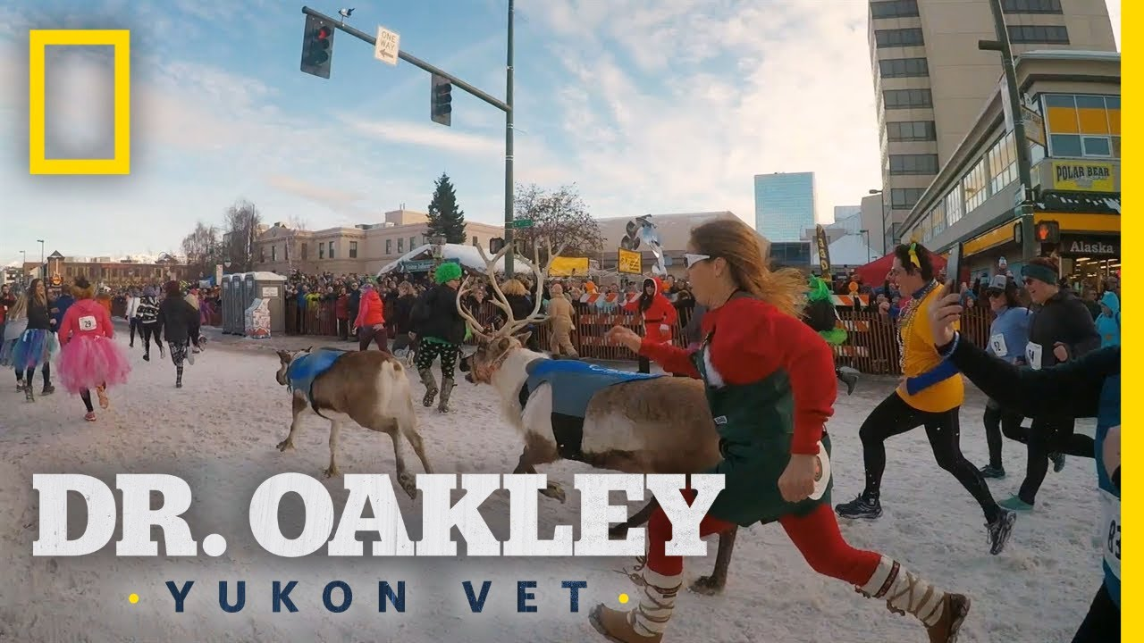 Running With the Reindeer | Dr. Oakley, Yukon Vet