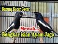 Burung Kacer Gacor Bongkar Isian Suara Ayam Mewah  Mp3 - Mp4 Download