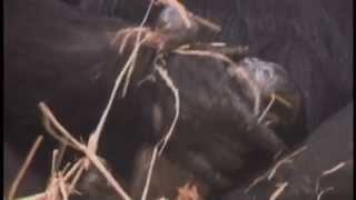 Gorilla Birth