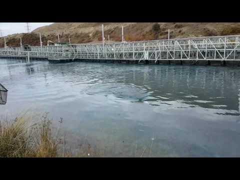 Twizel canal Salmon