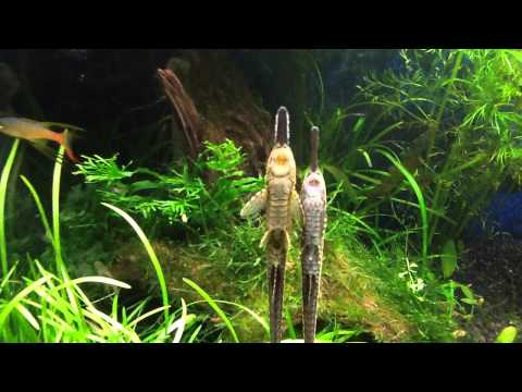 Pair Of Twig Catfish