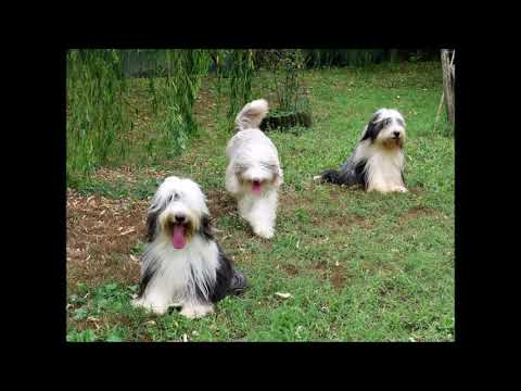 BEARDED COLLIE GREMONTREE - 2019 One summer day2