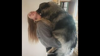Adorable Keeshond Here To Melt Your Heart and Make You Smile DOGS LOVERS