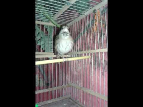 تغريد طائر العندليب في القفص بالدار البيضائ thumbnail