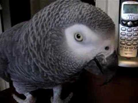 Parrot Singing Spongebob Song Doovi
