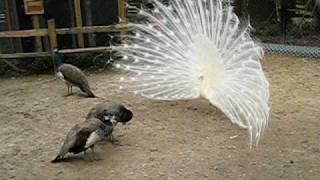 White peacock in love ...