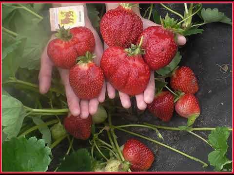 Вопрос: Клубника крупноплодная Сашенька shy , какие характеристики сорта?