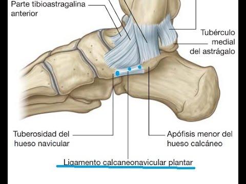 principales articulaciones del pie