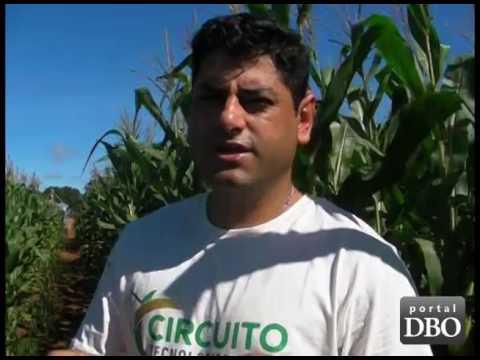 Inoculação no milho aumenta produtividade das lavouras