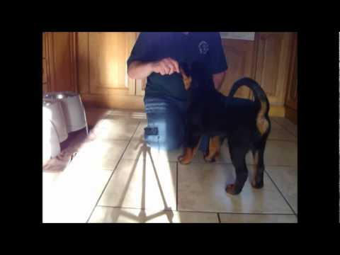 Winnie (Rottweiler) training at 10 weeks old