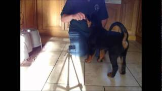 Winnie (rottweiler) Training At 10 Weeks Old