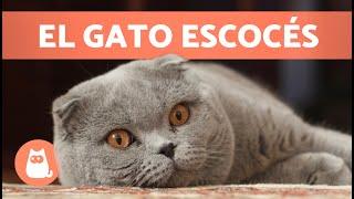 GATO SCOTTISH FOLD  ¡Características, Cuidados y Salud!