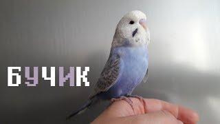 Ручной домашний птенец волнистого попугая чех Бучик