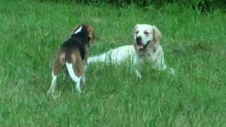 Golden Retriever Forest & Beagle Muniek Strzelce Opolskie Wiosna 2013r.