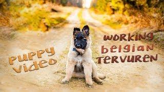 Rize  The Adventures of a Belgian Tervuren Puppy (712 weeks)