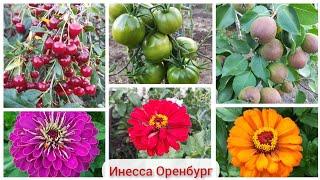 Урожайный огород / мини отчёт / Оренбург / 10 июля 2020 г./ Вишня, груши, циннии, томаты, кабачки.