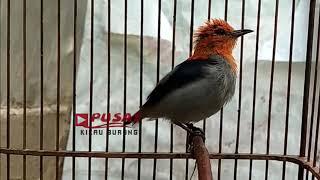 Download Lagu Suara KEMADE GACOR Isian Burung Sepah Atau Burung Mantenan mp3