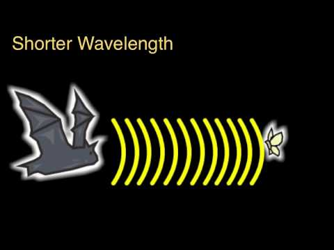 The Wonders Of Echolocation