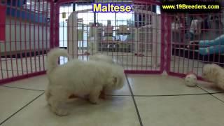 Maltese, Puppies, For, Sale, In, Olathe, Kansas, County, Ks, Fairfield, Litchfield, Middlesex, Tolla