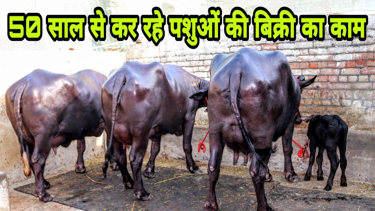 FOR SALE- Top Class Murrah Buffaloes at Kaithal  Milk capacity 18-22 kg per  day