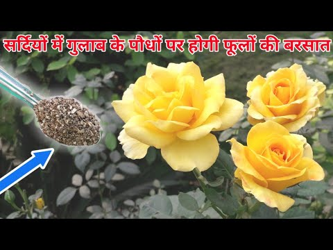 How to care Rose plant in winter season