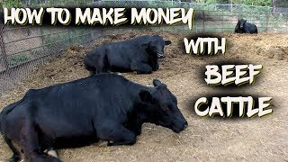 How to Make Money with Beef Cattle