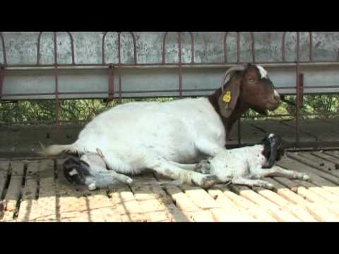 Nimbkar Boer Goat Farm 5 : Kidding