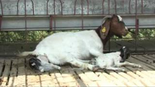 Nimbkar Boer Goat Farm 5 : Kidding