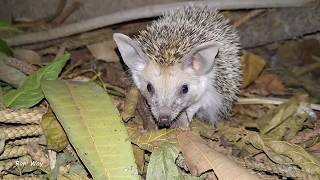 young hedgehog hunting ... thought they were vegetarians - Israel Nature - ouriço jovem - קיפוד צעיר