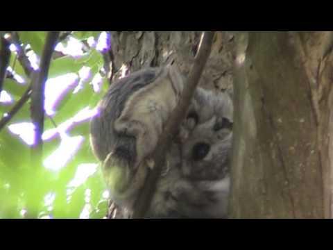 Liito-orava (Pteromys volans)