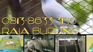 081386333136,Jual burung jalak bali murah,berkualitas,bagus,di jakarta