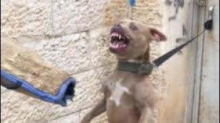 اخطر تجربة خطيره الاقتراب من كلب البيتبول المجنون والذي يغار من الاكل مع جمال العمواسي