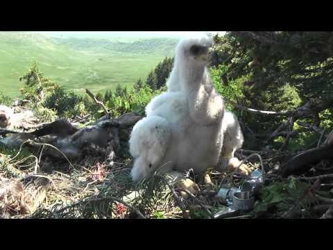 Banding a Golden Eagle