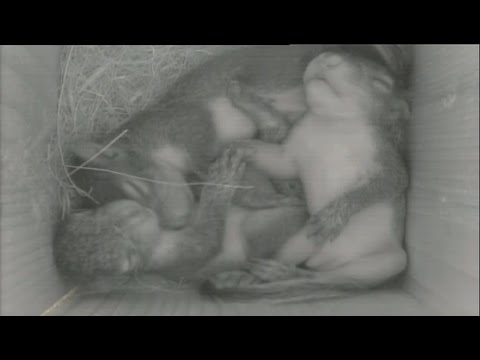 Cute Baby Gray Squirrels in Woodpecker Nest Box - Live 11/10/15!
