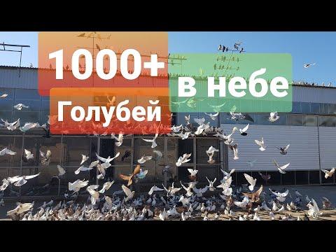 Голуби в небе 1000+ (тренировка)Pigeons in the sky 1000+ (training)